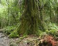 Laurelia novae-zelandiae 12.JPG