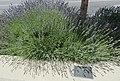 Lavallée's hawthorn (42077246930).jpg