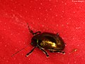 Leaf-beetle on a red petal (5799353778).jpg