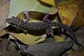Leaf-toed Gecko (Dixonius siamensis)3.jpg