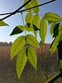 Leaf of entada rheedii (indoor).jpg