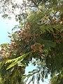 Leafy tree in ayvalık tulle - panoramio.jpg