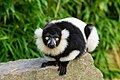 Lemur (26245075599).jpg