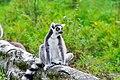 Lemur (36915644110).jpg