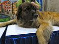Leonberger looking wary (8109956356).jpg