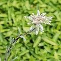 Leontopodium alpinum 'Matterhorn' in Jardin des 5 sens (3).jpg