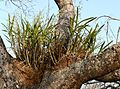 Leopard Orchid (Ansellia africana) clumps (31161458461).jpg
