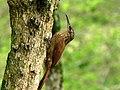 Lepidocolaptes souleyetii (Trepador campestre) (14171626875).jpg