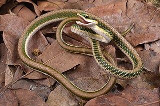 <i>Leptophis mexicanus</i> Species of snake