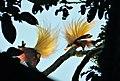 Lesser Bird of Paradise (Paradidaea minor) (48759784467).jpg