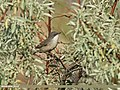 Lesser Whitethroat (Sylvia curruca) (28074052046).jpg