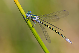 <i>Lestes dryas</i> species of insect