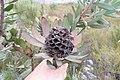 Leucadendron pubibracteolatum 15500245.jpg