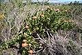 Leucospermum cordifolium MS 9315.jpg