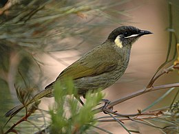 Lewins Honeyeater kobble apr06.jpg