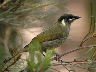 Meliphaga - Lewin's honeyeater (Meliphaga lewinii)
