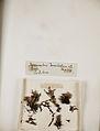 Lichenes Helvetici pars altera 019.jpg