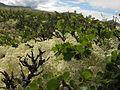 Lichens in Rondane.jpg