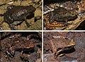 Life colouration of Stumpffia froschaueri - Oo 411438.jpg
