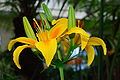 Lilium asiatic hybrid - city park launceston tasmania.jpg