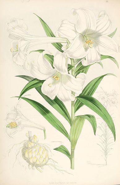 Lilium longiflorum lit jpg wikipedia for Lit wikipedia