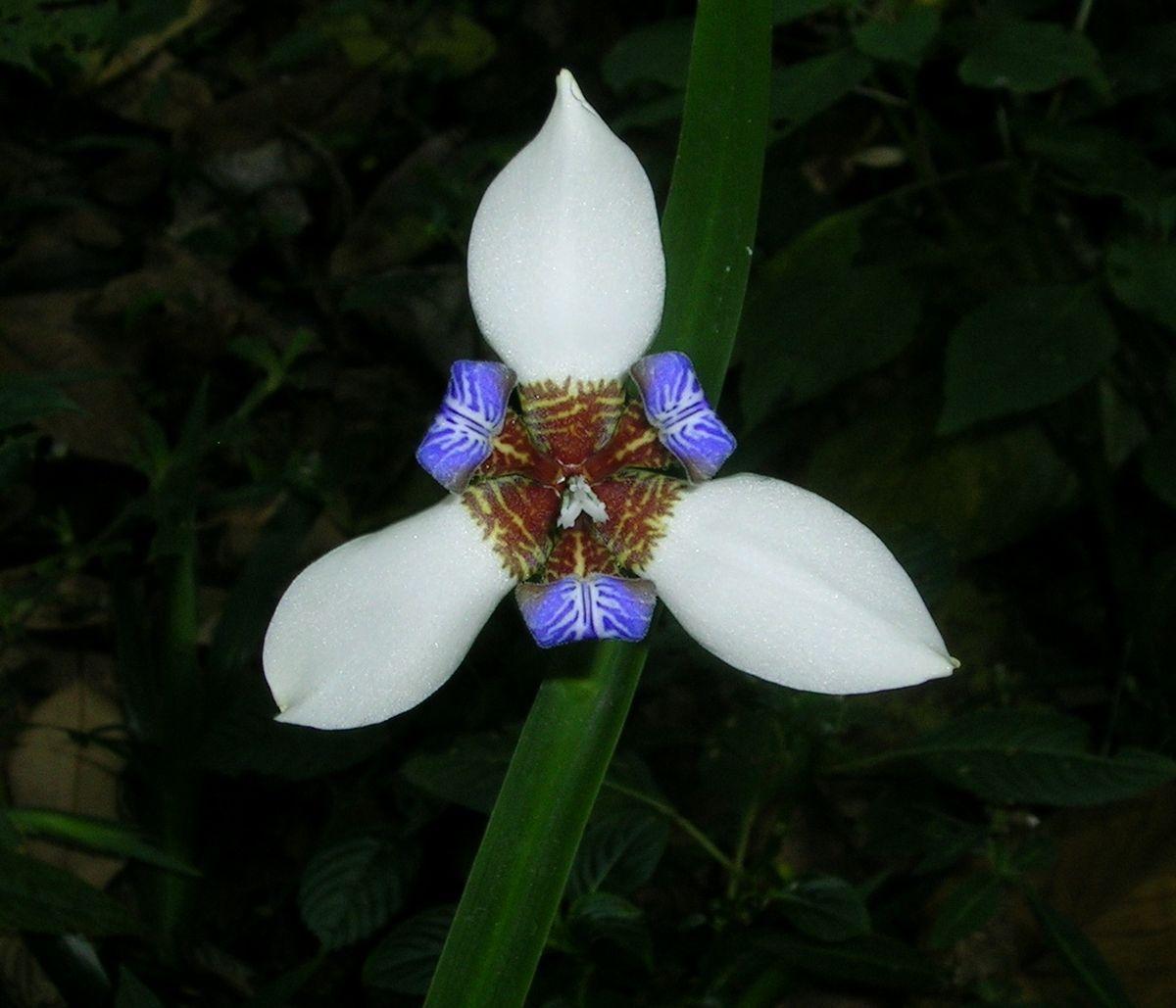 Neomarica Northiana Wikipedia
