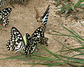 Lime Butterfly (Papilio demoleus) with Spot Swordtail (Graphium nomius ) W2 IMG 0284.jpg