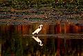 Little egret foraging at sunset in Lumbini, Nepal.jpg