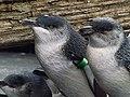 Little penguins 02.jpg