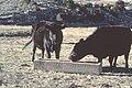 Livestock63.tif (27098098629).jpg
