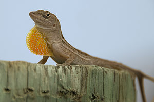 Gular fold - Male anoles have a retractable gular fold that is used to attract mates and to chase off rivals.