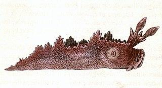 <i>Lomanotus</i> genus of molluscs