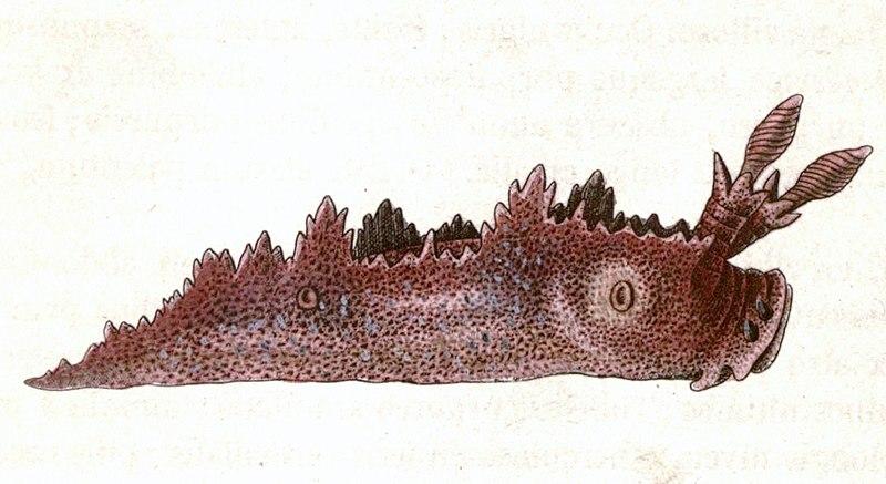 File:Lomanotus genei.jpg