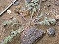 Lomatium foeniculaceum (4049562359).jpg