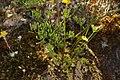 Lomatium hallii 4920.JPG