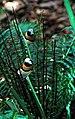 Lonchura castaneothorax -Australia Zoo, Beerwah, Queensland, Australia -two-8a.jpg