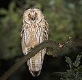 Long-eared owl (44329489585).jpg