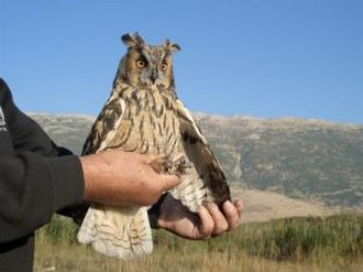 Aammiq Wetland - Long-eared owl caught during ringing activity