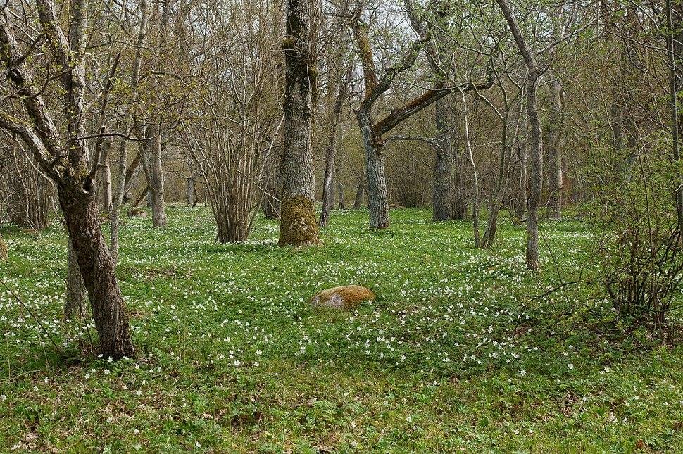 Loode tammik ülastega kevadel