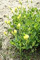 Lotus maritimus kz05.jpg