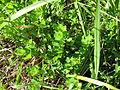 Lotus uliginosus habit6 (10356130325).jpg