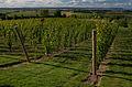 Luckett Vineyards Gaspereau Valley Nova Scotia.jpg