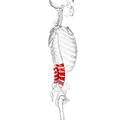 Lumbar vertebrae lateral2.png