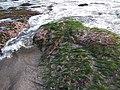 Lumut di Karang Pantai Tanah Lot.jpg