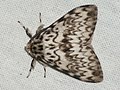 Lymantria monacha ♂ - Black arches (male) - Монашенка (самец) (27003796918).jpg