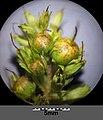 Lysimachia thyrsiflora sl52.jpg