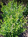 Lythrum salicaria 2007-06-02 (plant).jpg