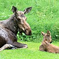 MOOSE (Alces alces) (6-23-2016) homer, alaska (2) (28424267294).jpg