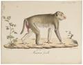 Macacus erythraeus - 1818-1842 - Print - Iconographia Zoologica - Special Collections University of Amsterdam - UBA01 IZ20000087.tif