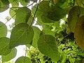 Macaranga tanarius - leaves.JPG
